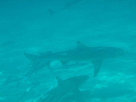 43. sharks
