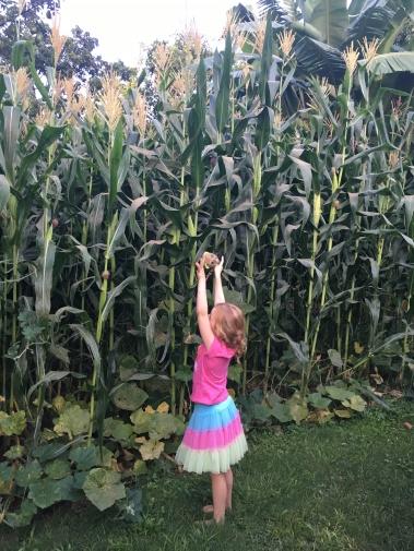 4. high maize